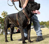 Luxury Handcrafted Leather Dog Harness for Cane Corso
