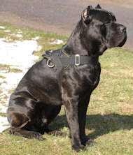 cane corso nylon dog harness