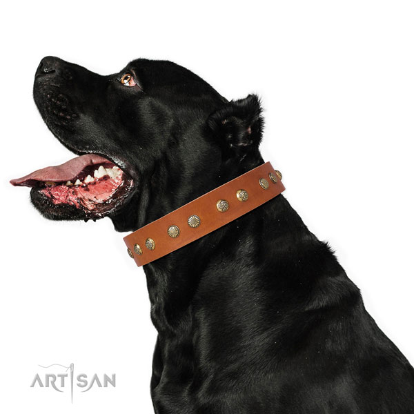 Top notch adornments on fancy walking leather dog collar