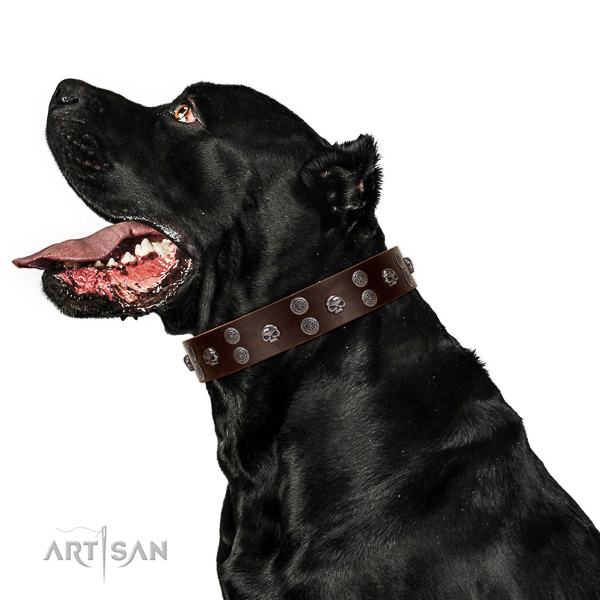 Fancy walking full grain leather dog collar with embellishments