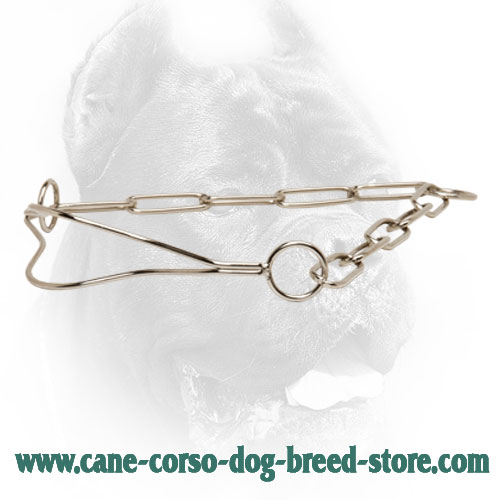Chrome Plated Cane Corso Collar for Dog Shows with Fur Saving Links