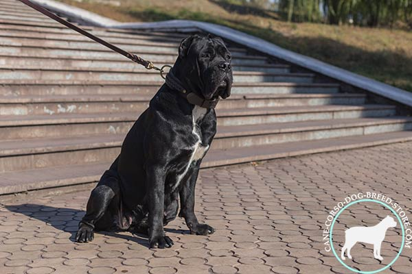 Braided design Cane Corso leather collar