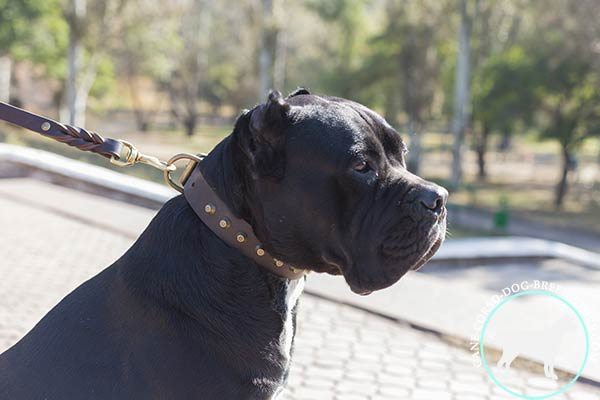 Cane Corso collar with brass pyramids