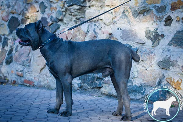 Cane Corso reliable collar for comfortable walking