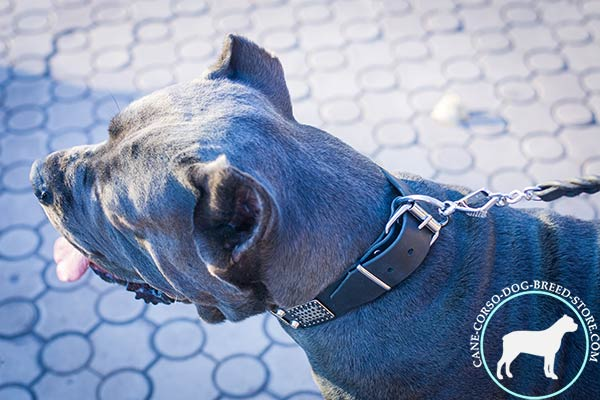 Cane Corso collar with dependable buckle
