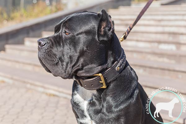 Cane Corso genuine leather collar with easy adjustable buckle