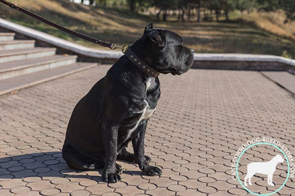 Cane Corso outstanding leather collar for fashionable promenades