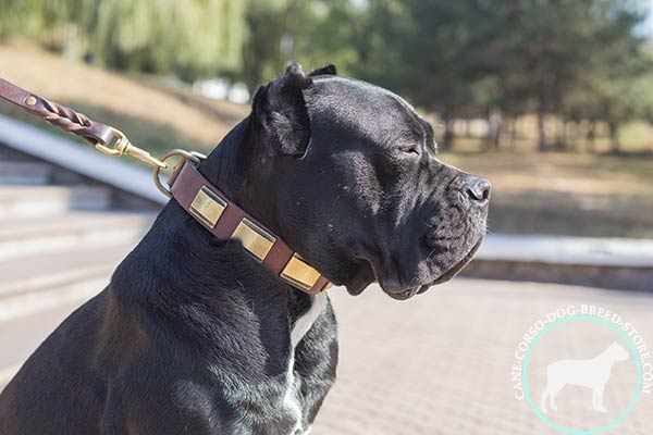 Cane Corso leather collar with handset plates