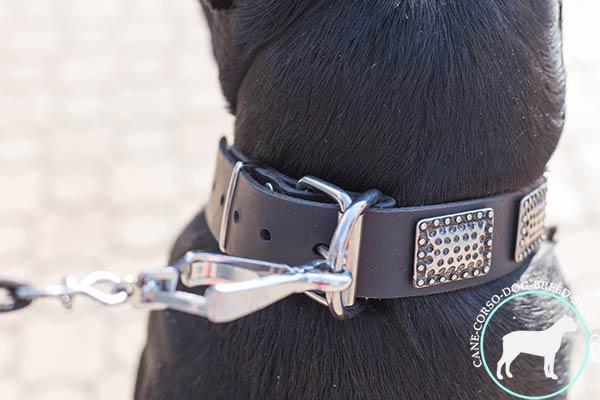 Cane Corso collar with strong nickel hardware