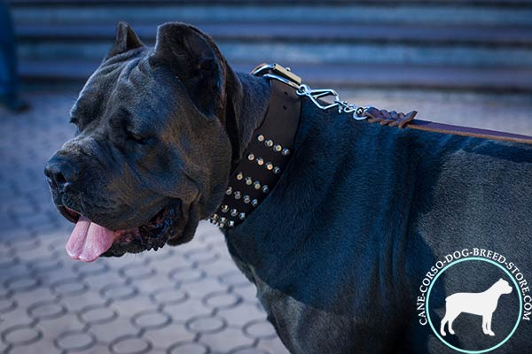 Cane Corso leather collar with shiny riveted pyramids