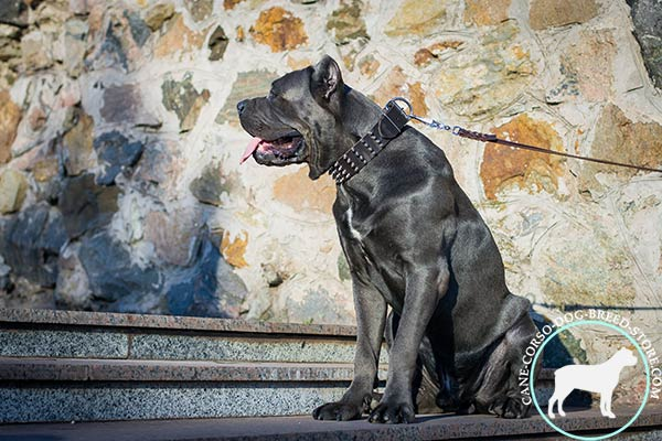 Cane Corso collar with reliably set rustproof spikes