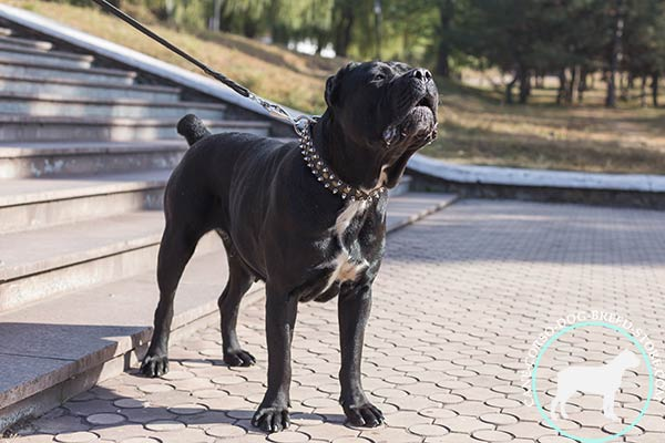 Studded and spiked Cane Corso genuine leather collar