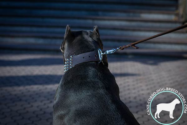 Cane Corso walking studded collar with rustproof buckle