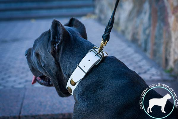 Cane Corso collar with welded brass buckle