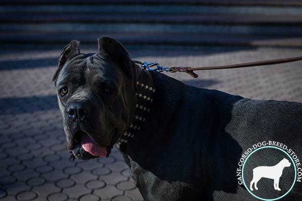 Studded wide collar for Cane Corso