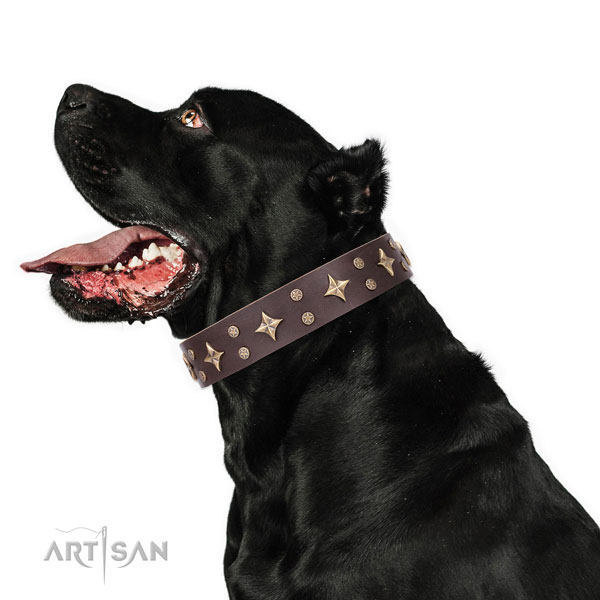Cane Corso easy wearing leather dog collar for basic training