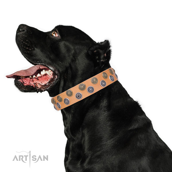 Cane Corso perfect fit natural genuine leather dog collar for fancy walking