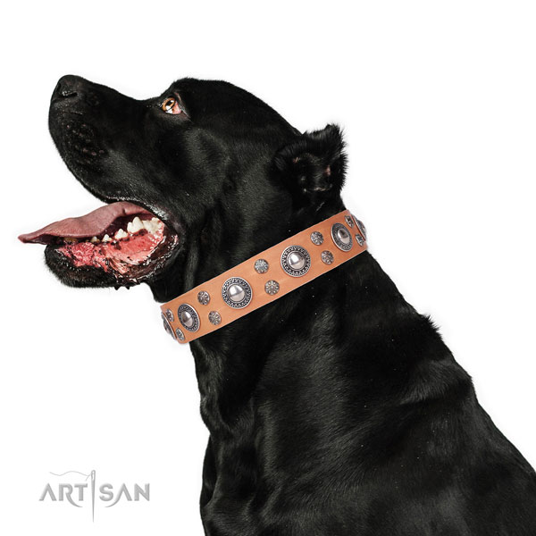 Cane Corso remarkable leather dog collar for daily walking