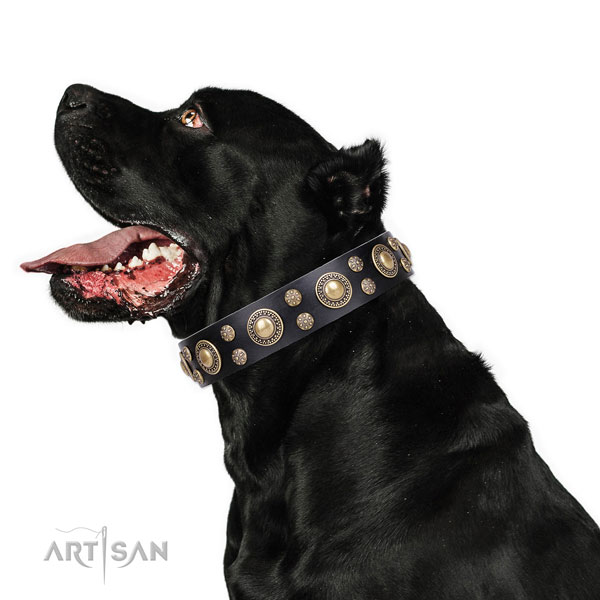 Cane Corso top notch full grain natural leather dog collar for daily walking