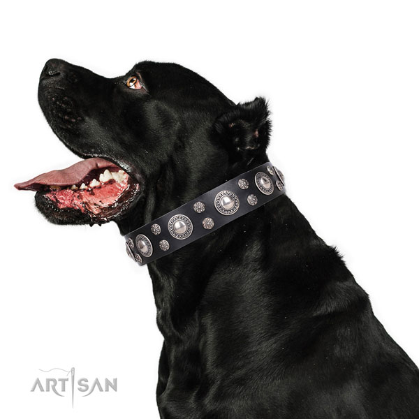 Cane Corso decorated full grain natural leather dog collar for everyday walking