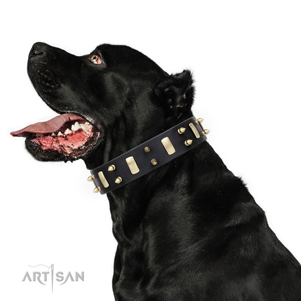 Cane Corso impressive full grain natural leather dog collar for everyday walking
