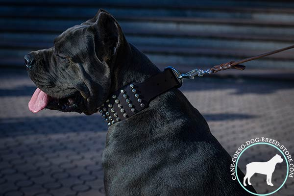 Cane Corso black leather collar of genuine materials studded for stylish walks