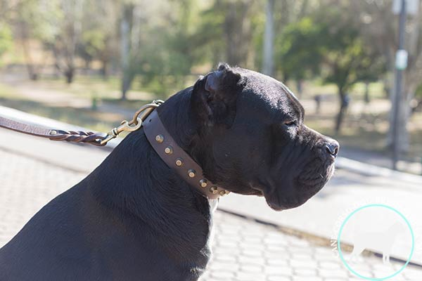 Cane Corso brown leather collar with non-corrosive fittings for perfect control