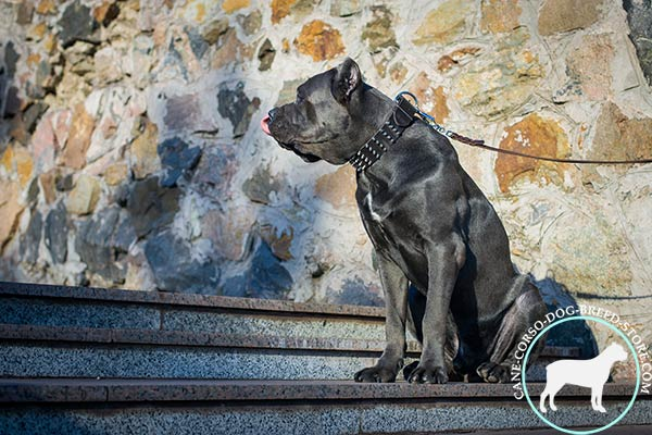 Cane Corso black leather collar with duly riveted spikes for safe walking