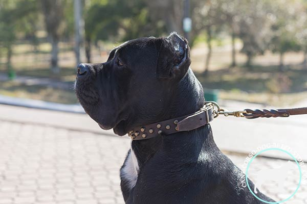 Cane Corso brown leather collar of high quality with d-ring for leash attachment for daily activity