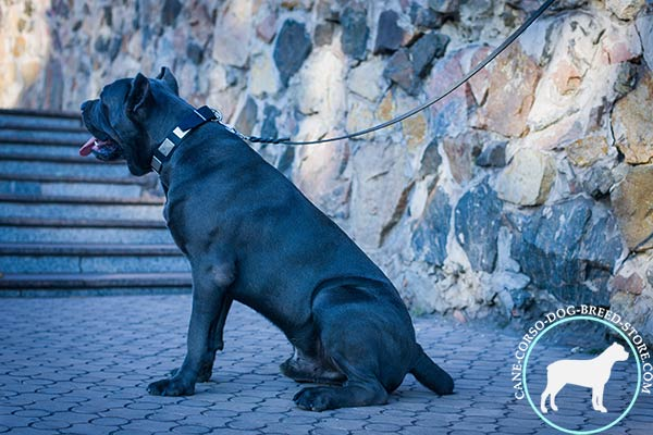 Cane Corso black leather collar of genuine materials decorated with plates for stylish walks