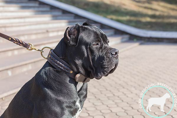 Cane Corso brown leather collar with strong hardware for daily activity