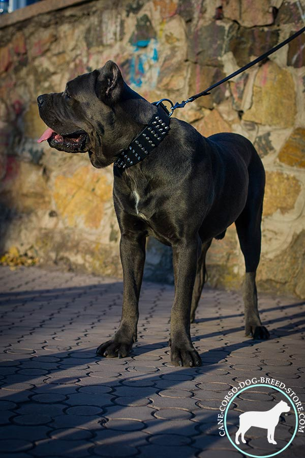 Cane Corso black leather collar easy-to-adjust with traditional buckle for daily activity
