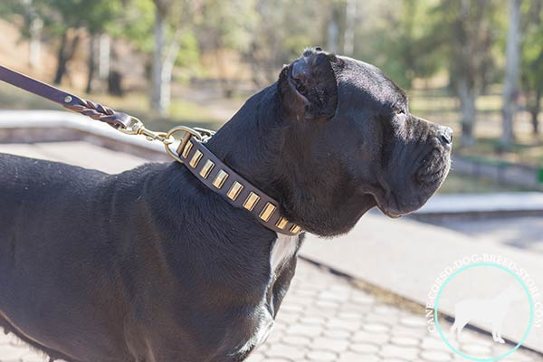 Cane Corso brown leather collar with rust-free brass plated hardware for daily activity