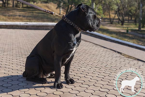 Cane Corso brown leather collar with reliable brass plated hardware for perfect control