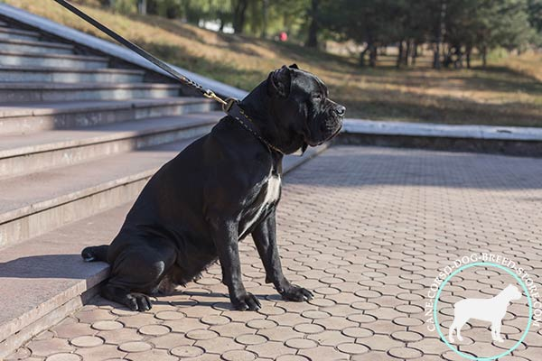 Cane Corso brown leather collar of high quality with d-ring for leash attachment for stylish walks