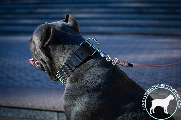 Cane Corso black leather collar with corrosion resistant spikes for stylish walks