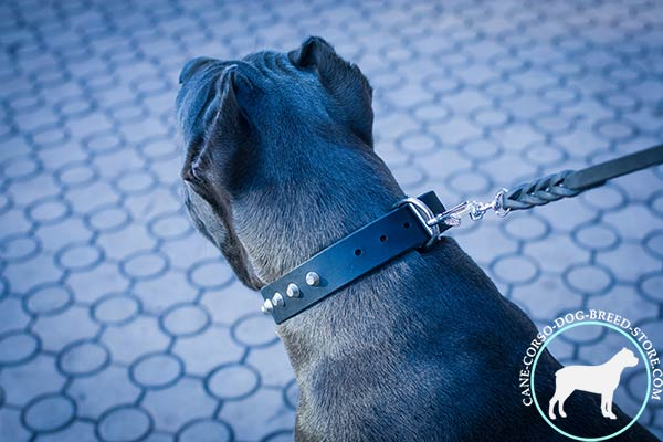 Cane Corso black leather collar with rust-proof fittings for daily activity