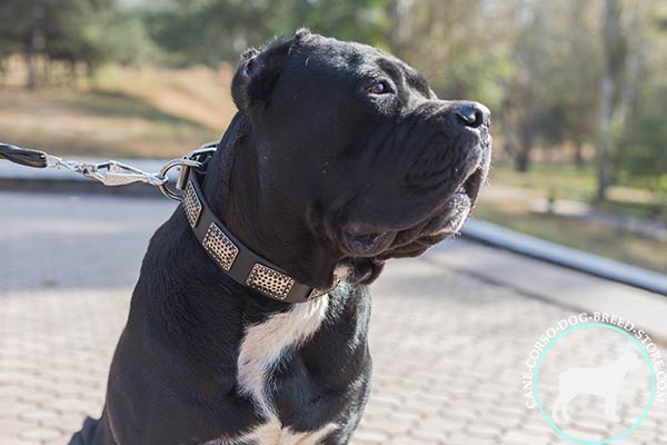 Cane Corso black leather collar with corrosion resistant hardware for daily activity