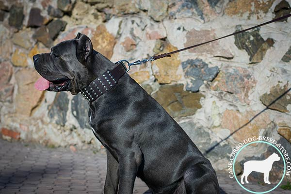 Cane Corso black leather collar with elegant fittings for walking in style