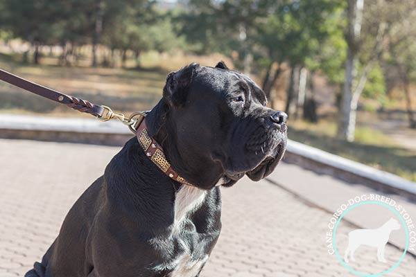 Cane Corso brown leather collar of classic design with d-ring for leash attachment for quality control