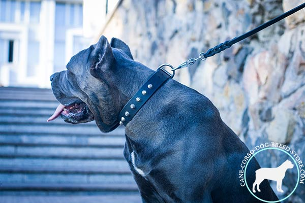 Cane Corso black leather collar with non-corrosive studs for any activity