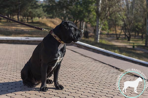 Cane Corso brown leather collar of high quality decorated with studs and plates for professional use