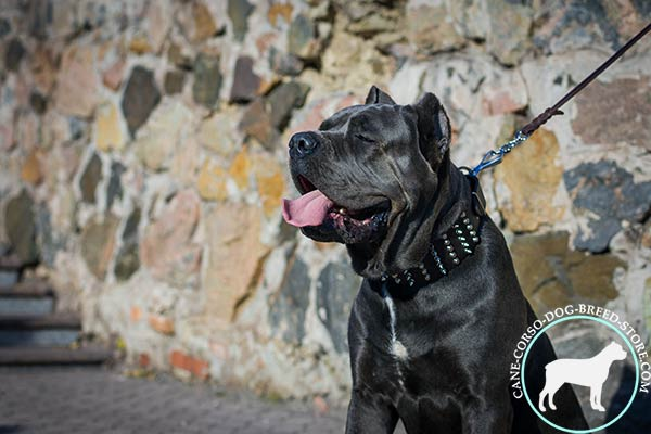 Cane Corso black leather collar with rust-free hardware for safe walking