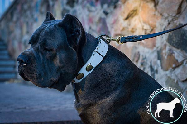 Cane Corso white leather collar of classic design with plates for agitation training