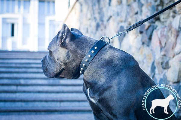 Cane Corso black leather collar with corrosion resistant hardware for walking