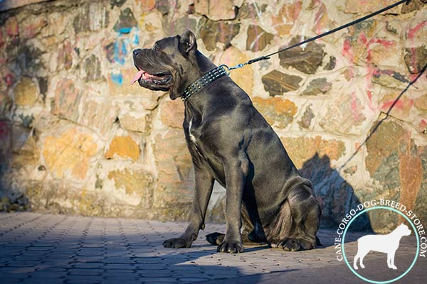 Cane Corso black leather collar of classic design with d-ring for leash attachment for agitation training