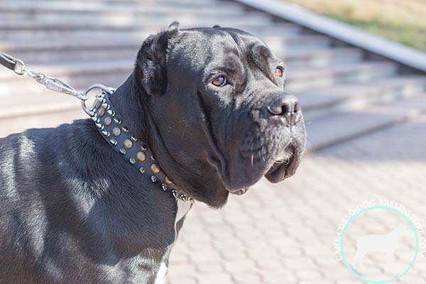 Cane Corso black leather collar with rust-proof hardware for any activity