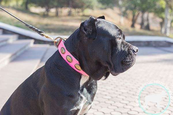 Cane Corso pink leather collar painted with plates for better comfort