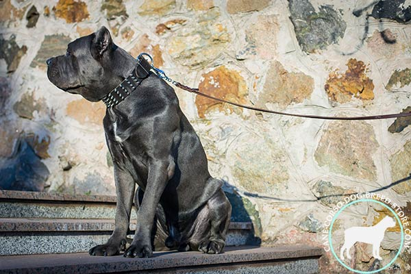 Cane Corso black leather collar wide with spikes for improved control
