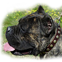 Leather Special Dog Collar With Circles for CANE CORSO